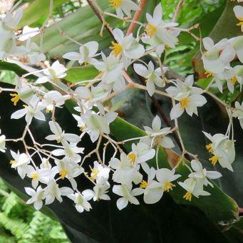 Begonia acida_DSCN1605_z-001