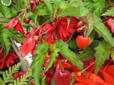 Begonia cucullata DSCN2789 (2)