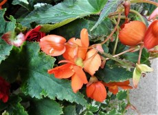 Begonia cucullata DSCN2795-001 (2)