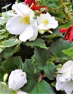 Begonia cucullata DSCN2796 (2)