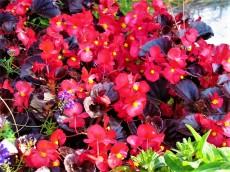 Begonia cucullata_IMG_6052 (2)