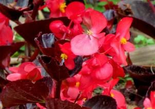 Begonia_IMG_6774-002 (2)