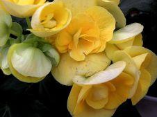 Begonia_P1141175_a