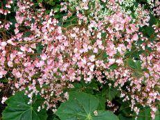 Begonia_P4150444_a