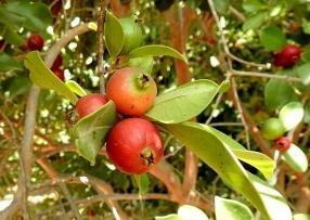 Guava_Psidium cattleianum_DSCN1996-001
