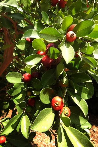 Guava_Psidium cattleianum_DSCN1998-001 (2)