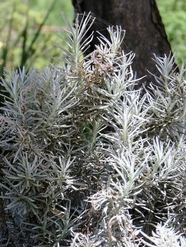Helichrysum italicum IMG_2749 (2)