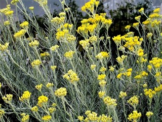 Helichrysum italicum_IMG_0102