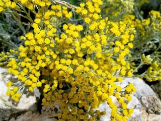 Helichrysum italicum_IMG_0140