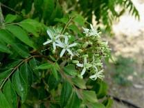 Murraya Curry tree IMG_7154