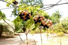 Murraya Curry tree_DSCN1887 (2)