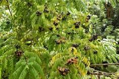 Murraya Curry tree_DSCN1890 (2)