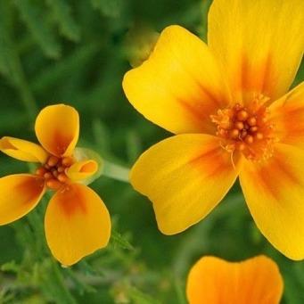 Tagetes tenuifolia_IMG_2548-002