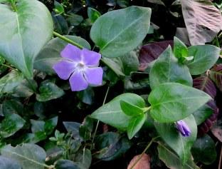Vinca herbacea IMG_2049-001