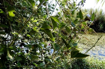 Althaea officinalis L._DSCN2205 (2)-001