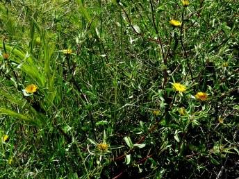 Asteriscus aquaticus IMG_9116-001