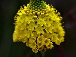 Bulbinella floribunda DSCN6531 (3)-001