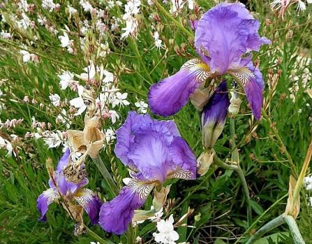 Iris mesopotamica_P5180034-1a