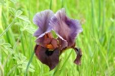 Iris atropurpurea_Purp_DSCN0444_Kadima-001