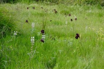 Iris atropurpurea_Purp_DSCN0451_Kadima-002