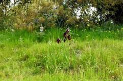 Iris atropurpurea_Purp_DSCN0469_Kadima-001 (2)