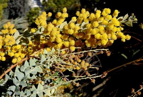 acacia-cultriformis-dscn1762-002